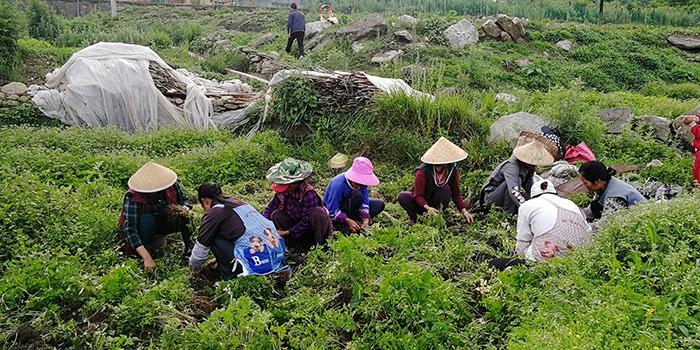 怒江昂可达:中药材种植应采用生态农业模式