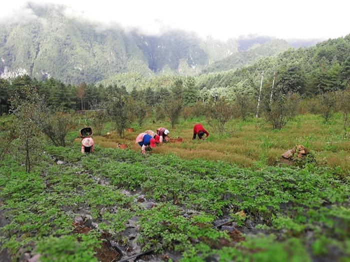 昂可达-凤凰山种植基地
