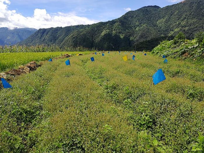昂可达-怒江种质资源