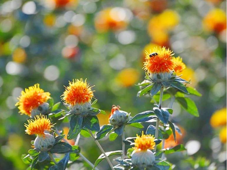 红花中药材种子种苗