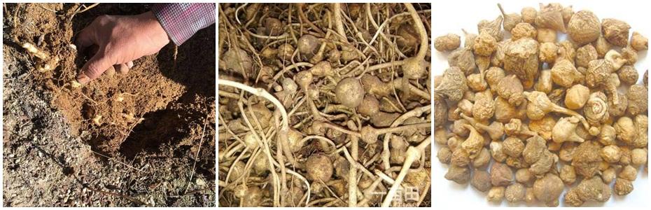 珠子参种子种苗产地直供