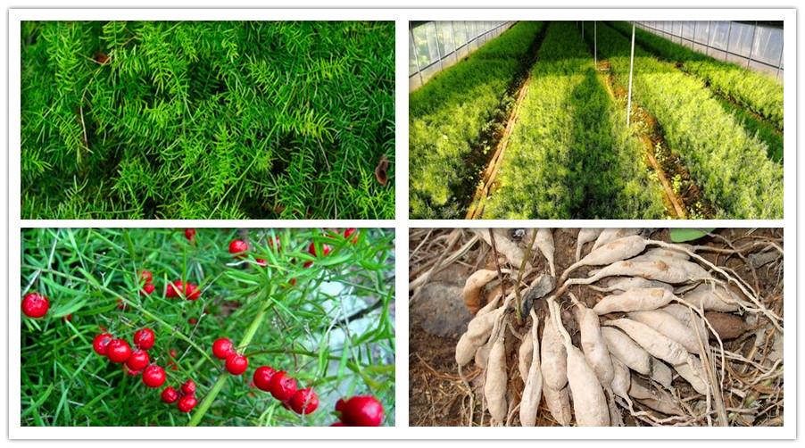 天门冬种子种苗产地直供