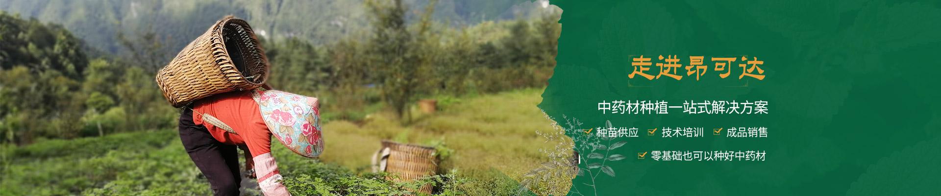 昂可达-专注道地云药种植