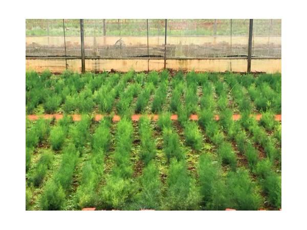 k7娱乐国际天门冬种子种苗
