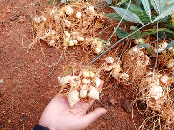 中药材滇黄精种子种苗